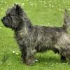 Cairn_Terrier